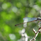 Blue-fronted Dancer Damselfly (female)