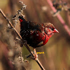 Red Avadavat  ( StrawberryFinch)