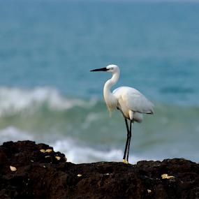 Little Egret.... by Nithya Purushothaman - Animals Birds (  )