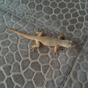 Pacific house gecko