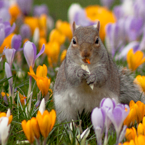 Crocus for lunch  by Stephanie Veronique - Animals Other ( spring colorful flowers, crocus, springs, lunch, squirrel, animal,  )