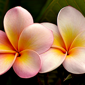 Pink Frangipani 62 by Mark Zouroudis - Flowers Flowers in the Wild (  )