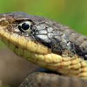 Eastern Hognose