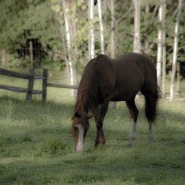 Lazy Grazin' by Micki Ortiz - Animals Horses ( grazing, horse, meadow, vermont, country )