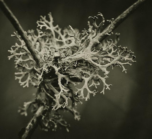 <p> Lichen in an old orchard, East Sussex</p>