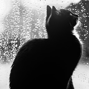 Catsita by Stephanie Walsh - Animals - Cats Kittens ( kitten, cat, window, black and white, contemplative cat, contemplative, black cat, rain, baby, young, animal )