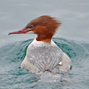 Goosander or Common Merganser (female)