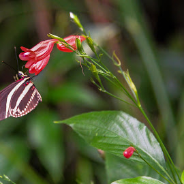 butterfly by Patrick Mous - Novices Only Wildlife ( butterfly, butterflies, dutch, vlinder )