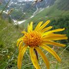 Heilpflanzen der Alpen icon