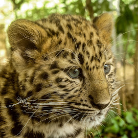 Cute leopard by Garry Chisholm - Animals Lions, Tigers & Big Cats ( garry chisholm, predator, carnivore, nature, wildlife, leopard )