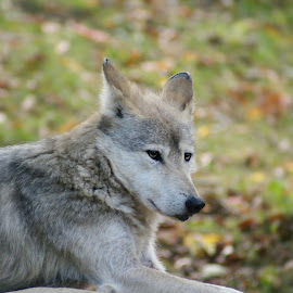 Just wolfing around by Jessica Williams Bender - Animals Other ( wolf, wolf resting, wolf laying down,  )
