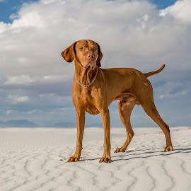 male vizsla dog outdoors by Barna Tanko - Uncategorized All Uncategorized ( breed, pedigree, desert, male, white, canine, pure, color, outdoors, pointer, vizsla, dog, golden )