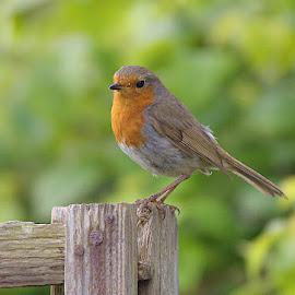 Robbie by Stuart Watson - Animals Birds ( bird, robin, north wales, red )