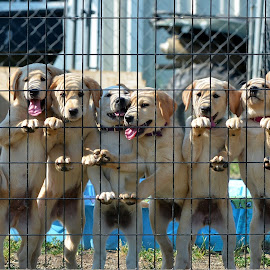 Always one that messes up the shot by Rob Ebersole - Animals - Dogs Puppies ( puppies, yellow, retreiver, lab, golden )