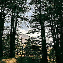 The Cedars by Anto Boyadjian - Landscapes Forests ( forest, cedars )