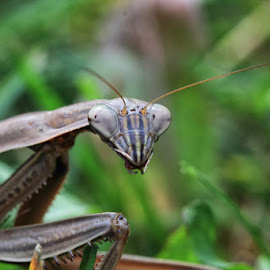 Mantis by Dave Joye - Novices Only Macro ( canon, macro, bugs, mantis, bokeh )