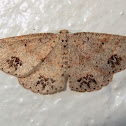 Pawprints moth (♂)