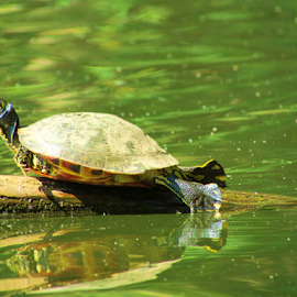 I Believe I can Fly! by Alan Hammond - Animals Other ( animals, other, nature, turtles,  )