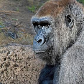 G'rilla by John M. Larson - Animals Other Mammals ( wild, zoo, la zoo, wildlife, gorilla,  )