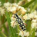 Lonhorn Beetle