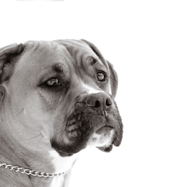 Boxador Lucky by Eric Deschenes - Animals - Dogs Portraits ( pet, dog, boxer labrador, friend, boxador )