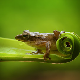 lovely frog by Alonk's Roby - Animals Amphibians