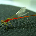Red Damselfly