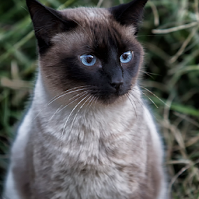 Blue eyes by Cristobal Garciaferro Rubio - Animals - Cats Portraits ( pose, cat, blue eyes )