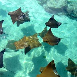 Manta Rays by Jane Spencer - Animals Fish ( paradise island, manta ray, aquarium, bahamas, atlantis,  )