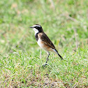 Wheatear - Capped Wheatear