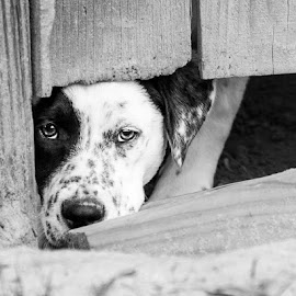 Can I play too? by Kirsteen Sproule Zietsman - Animals - Dogs Playing ( fence, black and white, puppy dog eyes, bw, locked in, puppy, dog )