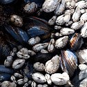 Barnacles and Blue Mussels