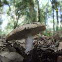 Russula amoenolens