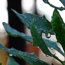 by Dipali S - Nature Up Close Leaves & Grasses ( water, reflection, dew, green, drops, refraction, leaves )