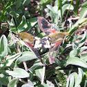 Rocky Mountain Clearwing or Bee Hawk Moth