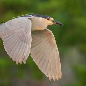 Black Crowned Night Heron by Herb Houghton - Animals Birds ( www.herbhoughton.com )