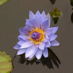 Purple Water Lilly by Ken Miller - Flowers Flowers in the Wild ( water, purple, yellow, lilly, flower,  )