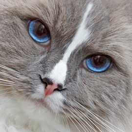 Blue eyes by Mia Ikonen - Animals - Cats Portraits ( ragdoll, beautiful, finland, expressive, cute )