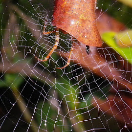 by Kris Pate - Nature Up Close Webs ( spiderweb, web )