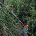 Great Green & Red-and green Macaws