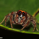 Jumping Spider - male