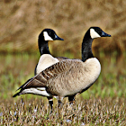 Geese Sound Effects icon