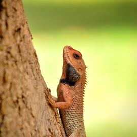 The Good Life by Monica Zikusooka - Animals Reptiles ( lizard, rajasthan, 2011, india, lizard on tree, nikon )