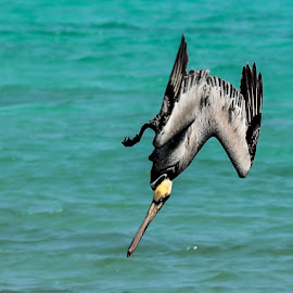Dive Bonb by Daniel Lord - Animals Birds