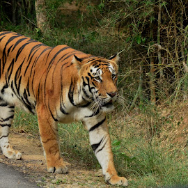Tiger by Govind Raturi - Novices Only Wildlife