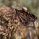 Wanderer (Monarch Butterfly)