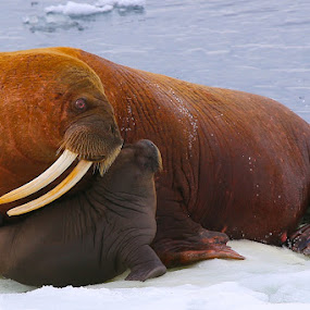 Mom and pup by Capt Jack - Animals Other ( sealife, ice, alaska, pup, walrus, mom,  )