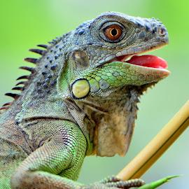 by Ajar Setiadi - Animals Reptiles (  )