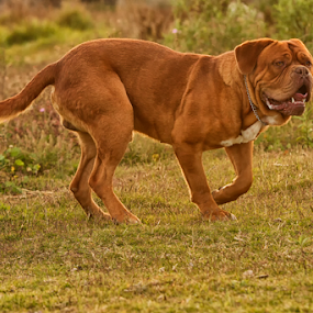 Dogo by Cristobal Garciaferro Rubio - Animals - Dogs Running ( dogo, burdeaux, burdeos, grass and dog, dogo de burdeaux )