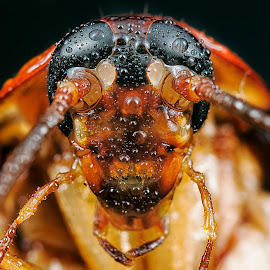 House cockroach. by SweeMing YOUNG - Animals Insects & Spiders